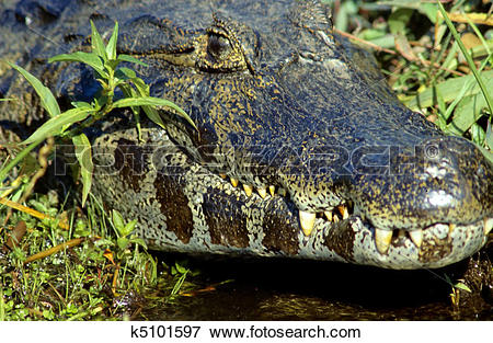 Picture of Spectacled caiman k5101597.