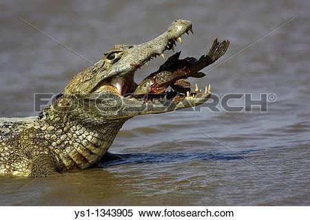 Stock Image of Spectacled Caiman, Caiman crocodilus, adult.