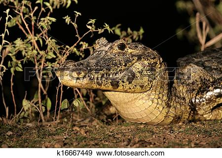 Stock Photograph of Spectacled caiman, Caiman crocodilus k16667449.