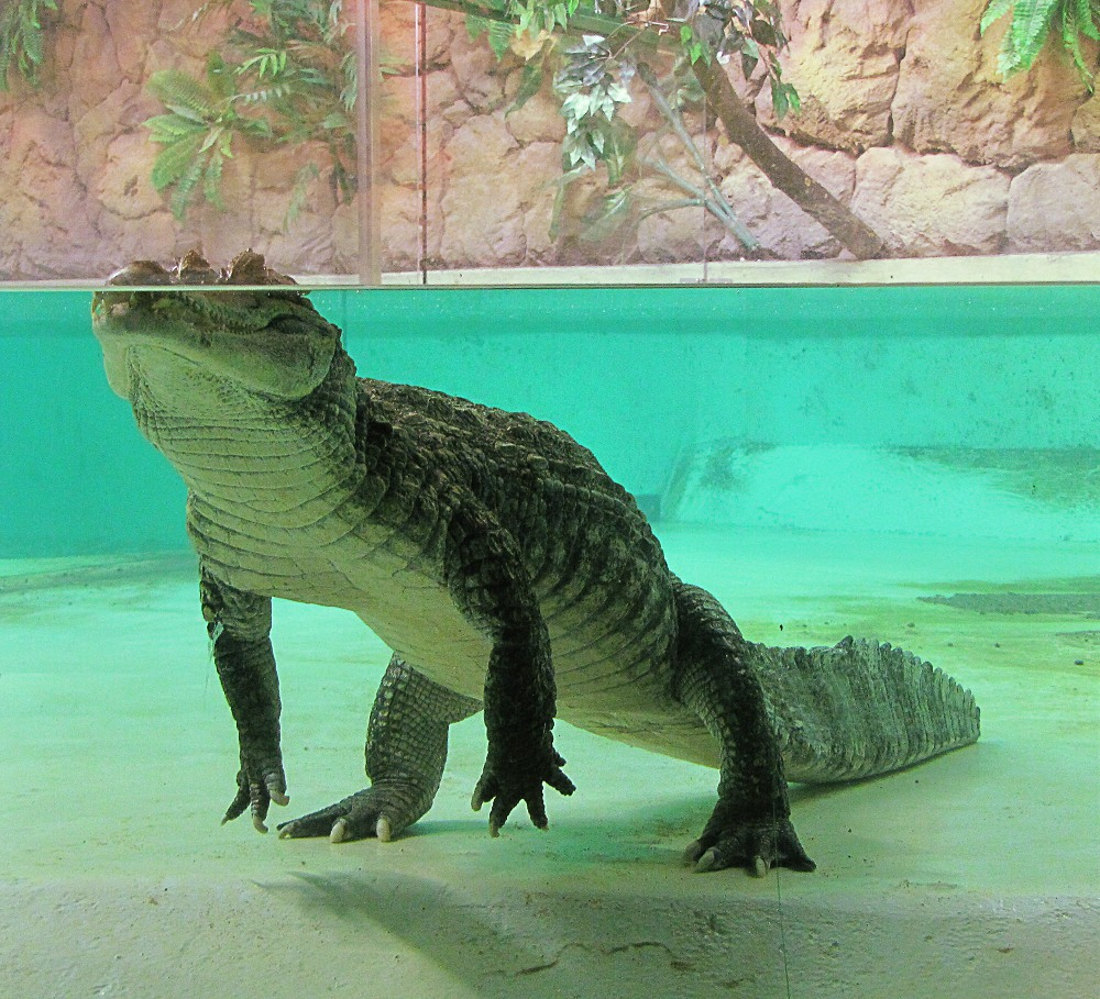 spectacled caiman Caiman crocodilus at zoo.