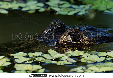Stock Image of Spectacled caiman (Caiman crocodilus crocodilus.