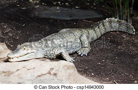 Stock Photography of spectacled caiman.