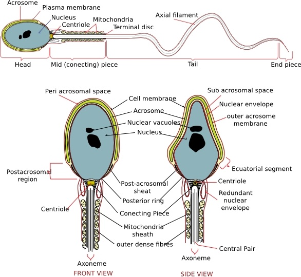 Complete Diagram Of A Human Spermatozoa clip art Free vector in.