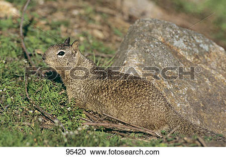 Stock Photography of California Ground Squirrel / Spermophilus.