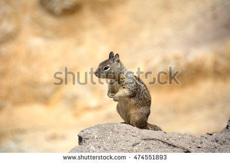 California Ground Squirrel Stock Photos, Royalty.