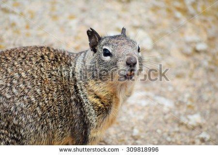 Beach Squirrel Stock Photos, Royalty.