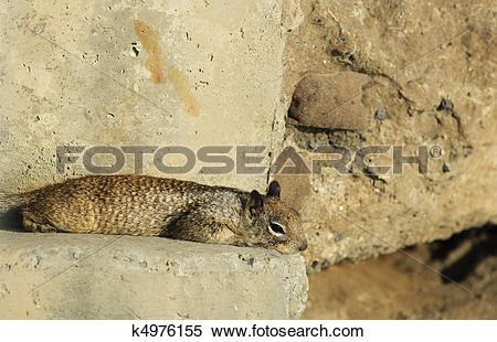 Stock Image of California Ground Squirrel lying (Spermophilus.