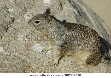 Spermophilus Beecheyi Stock Photos, Royalty.