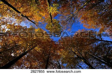 Stock Image of beech forest, Spessart, Germany, worm's eye view.