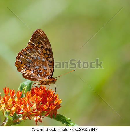 Stock Photo of Great Spangled Fritillary (Speyeria cybele) on.