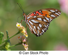 Stock Photo of Mormon Fritillary butterfly.