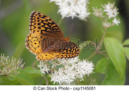 Stock Photography of Great Spangled Fritillary Butterfly (Speyeria.