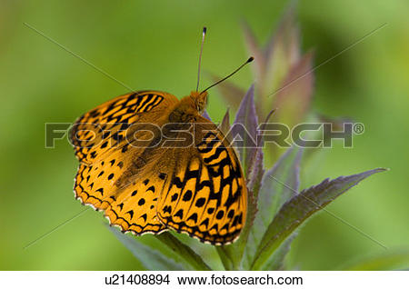Stock Photo of Aprodite (Speyeria aphrodite) resting on goldenrod.