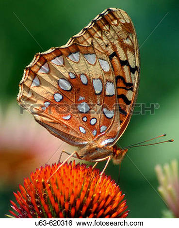 Stock Images of Great spangled fritillary (Speyeria Cybele) on.