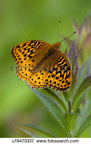 Picture of Aprodite (Speyeria aphrodite) resting on goldenrod.