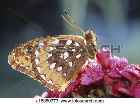 Stock Photo of Coronis Fritillary (Speyeria coronis), Alberta.