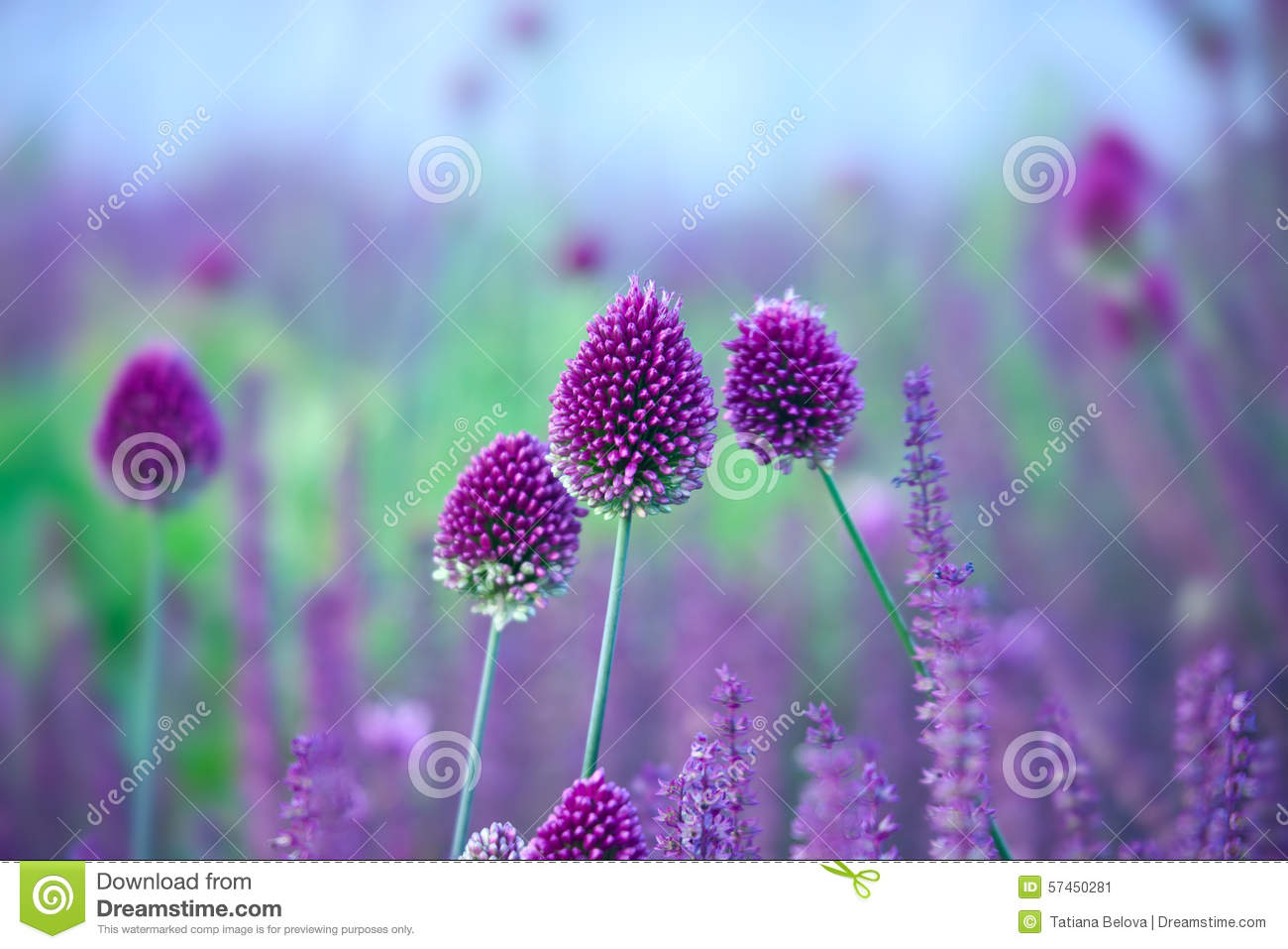 Chive Herb Flowers.