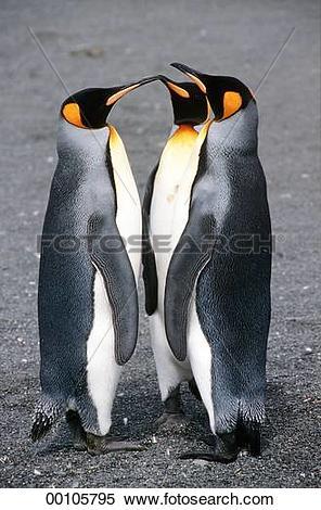 Stock Image of animals, Juniors, animal, Spheniscidae, King.