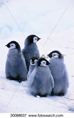 Picture of antarctic, Juniors, animals, animal, Spheniscidae, band.