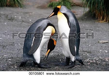 Stock Photography of animals, Juniors, animal, Spheniscidae, King.