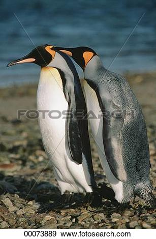 Stock Photograph of animals, Juniors, animal, Spheniscidae, King.