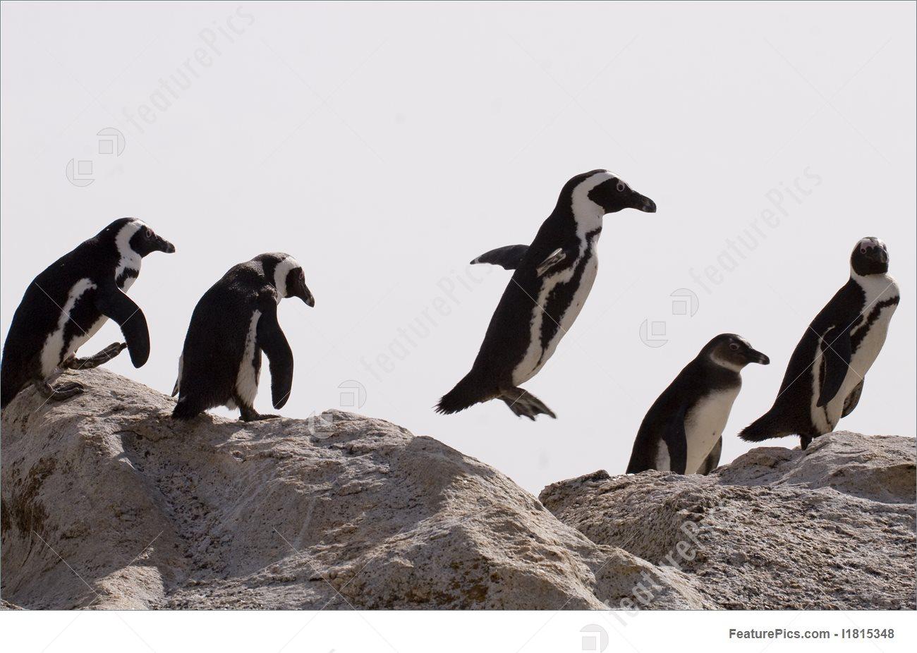 African Penguin (Spheniscus Demersus) Picture.