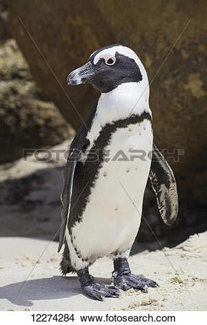 Stock Photo of African penguin (Spheniscus demersus) at Boulders.