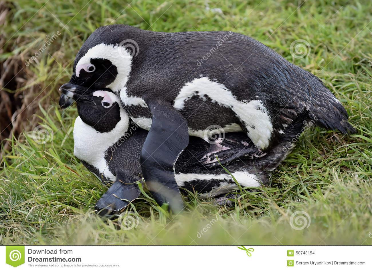 Mating Penguins (Spheniscus Demersus) (African Penguins). Stock.