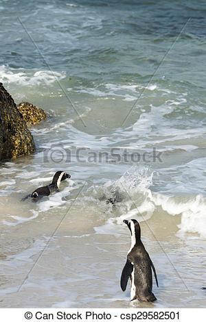 Stock Photography of Jackass Penguins (Spheniscus Demersus.