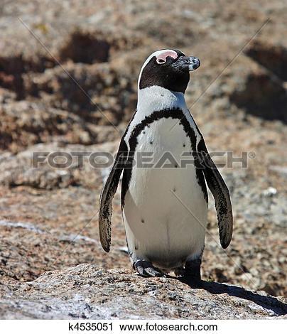 Stock Photography of Penguin, jackass (Spheniscus demersus) on.