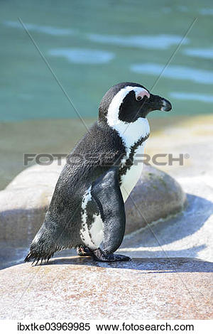 """Stock Image of """"African Penguin (Spheniscus demersus), captive."""
