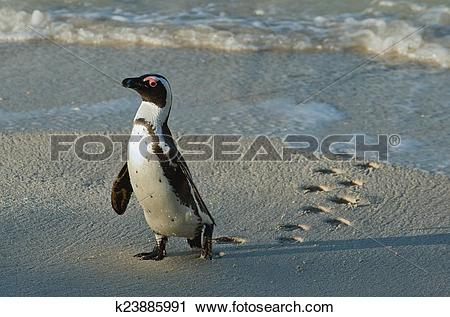 Stock Photography of Walking African penguin (spheniscus demersus.