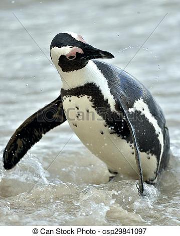 Stock Photographs of Portrait of African penguin (spheniscus.