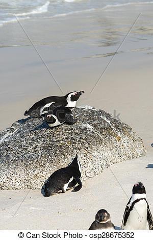 Stock Images of Jackass Penguins (Spheniscus Demersus).