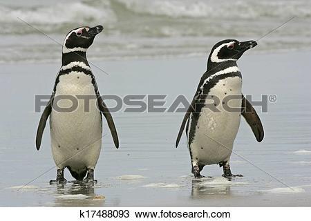 Stock Photo of Magellanic penguin, Spheniscus magellanicus.