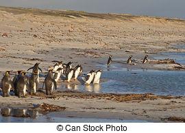 Picture of Magellanic Penguin (Spheniscus magellanicus) standing.