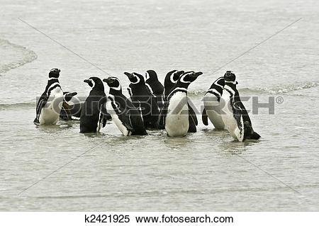Stock Image of Magellanic penguins (Spheniscus magellanicus.