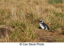 Pictures of Magellanic Penguin (Spheniscus magellanicus) standing.