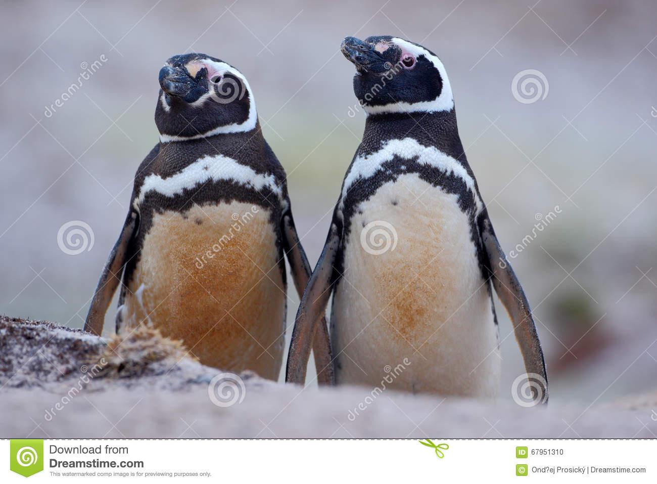 Magellanic Penguin (Spheniscus Magellanicus) Royalty Free Stock.