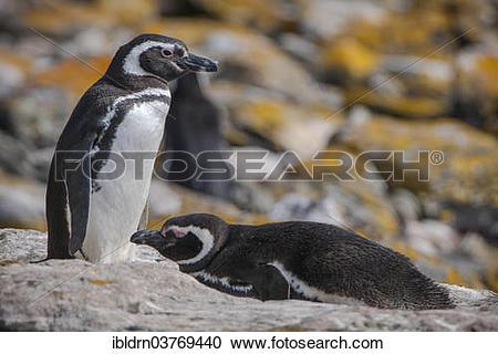 """Stock Photography of """"Magellanic Penguins (Spheniscus magellanicus."""