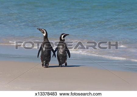Stock Photo of Two Megellanic Penguins (Spheniscus magellanicus.