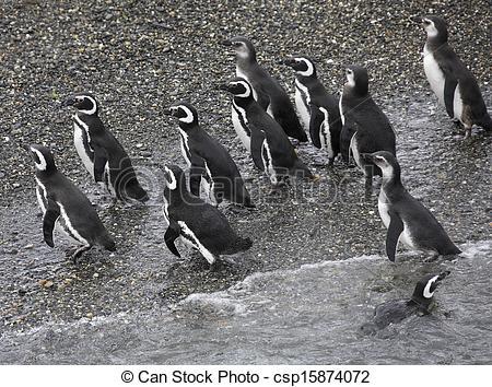 Picture of Magellanic Penguin, (Spheniscus magellanicus).