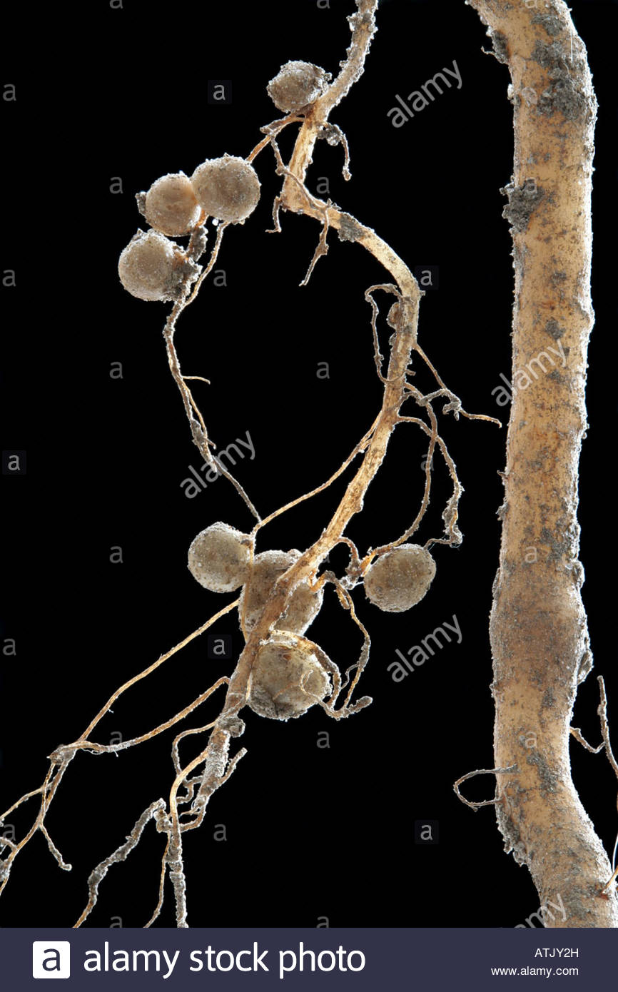 Nodule Stock Photos & Nodule Stock Images.