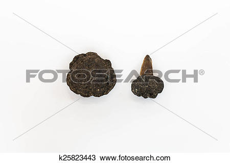 Stock Photo of Polymetallic nodules on white background with tooth.