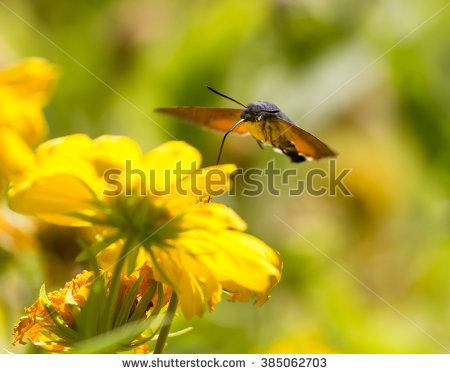 Sphingidae clipart #16