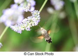 Sphingidae clipart #19