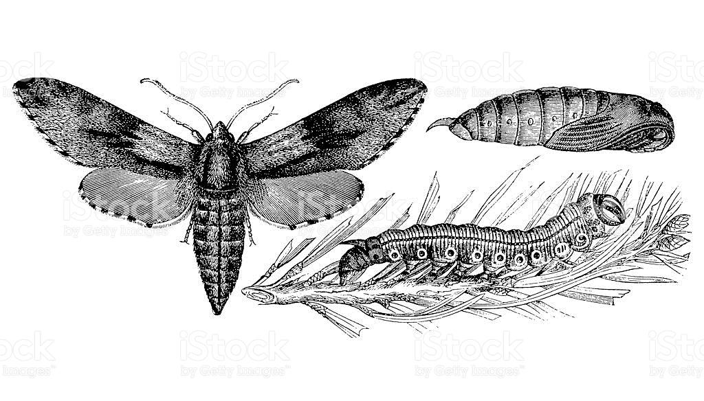 Pine Hawkmoth stock vector art 184861640.
