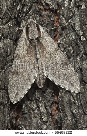 Pine hawk moth Stock Photos, Images, & Pictures.