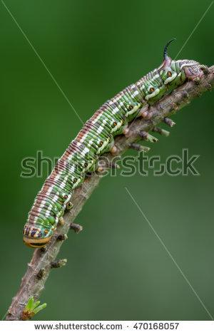Sphinx Moth Caterpillar Stock Photos, Royalty.