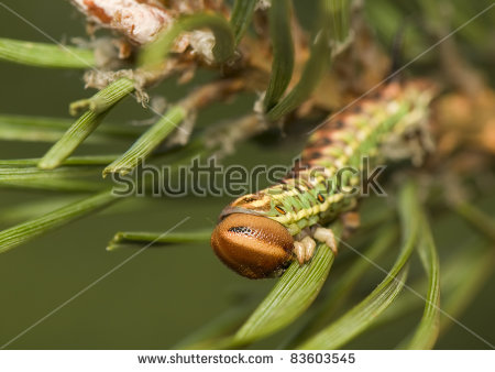 Hyloicus Stock Photos, Images, & Pictures.